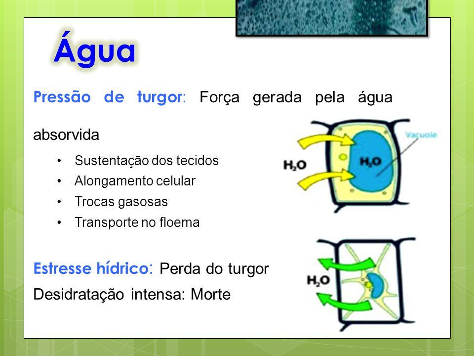 Água Pressão de turgor: Força gerada pela água absorvida