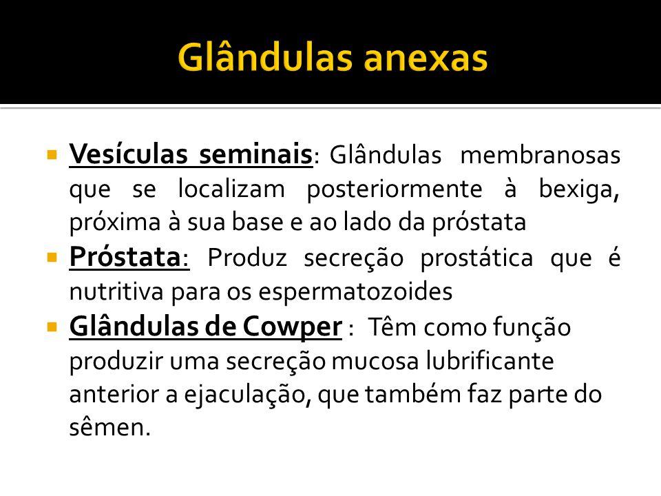 Glândulas anexas Vesículas seminais: Glândulas membranosas que se localizam posteriormente à bexiga, próxima à sua base e ao lado da próstata.