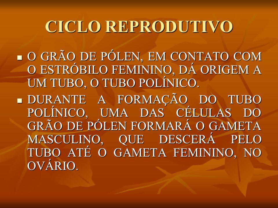 CICLO REPRODUTIVO O GRÃO DE PÓLEN, EM CONTATO COM O ESTRÓBILO FEMININO, DÁ ORIGEM A UM TUBO, O TUBO POLÍNICO.