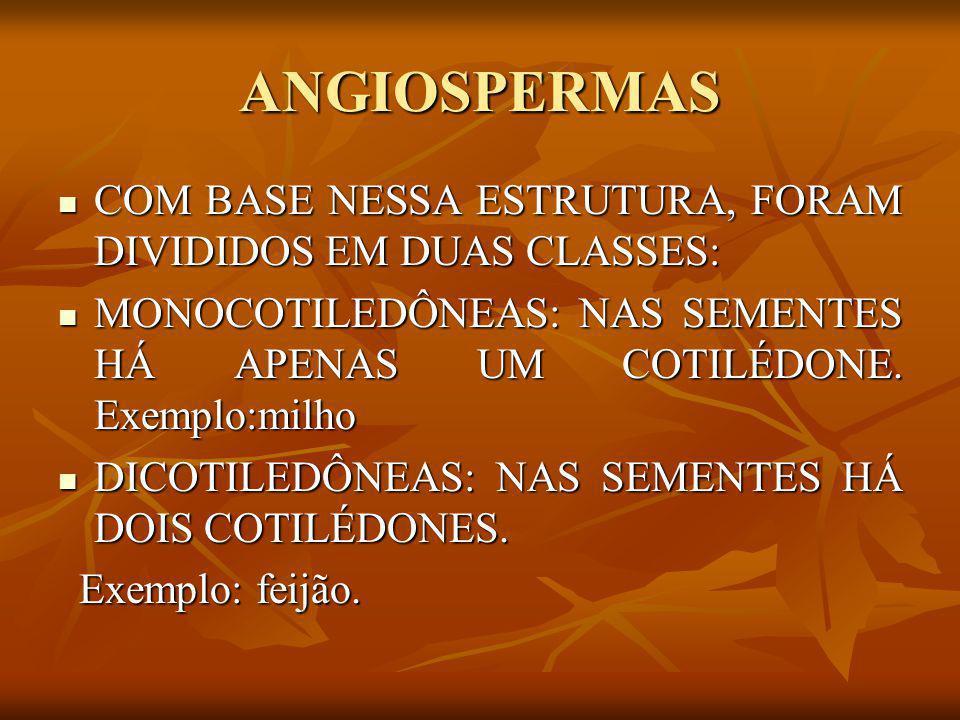 ANGIOSPERMAS COM BASE NESSA ESTRUTURA, FORAM DIVIDIDOS EM DUAS CLASSES: MONOCOTILEDÔNEAS: NAS SEMENTES HÁ APENAS UM COTILÉDONE. Exemplo:milho.