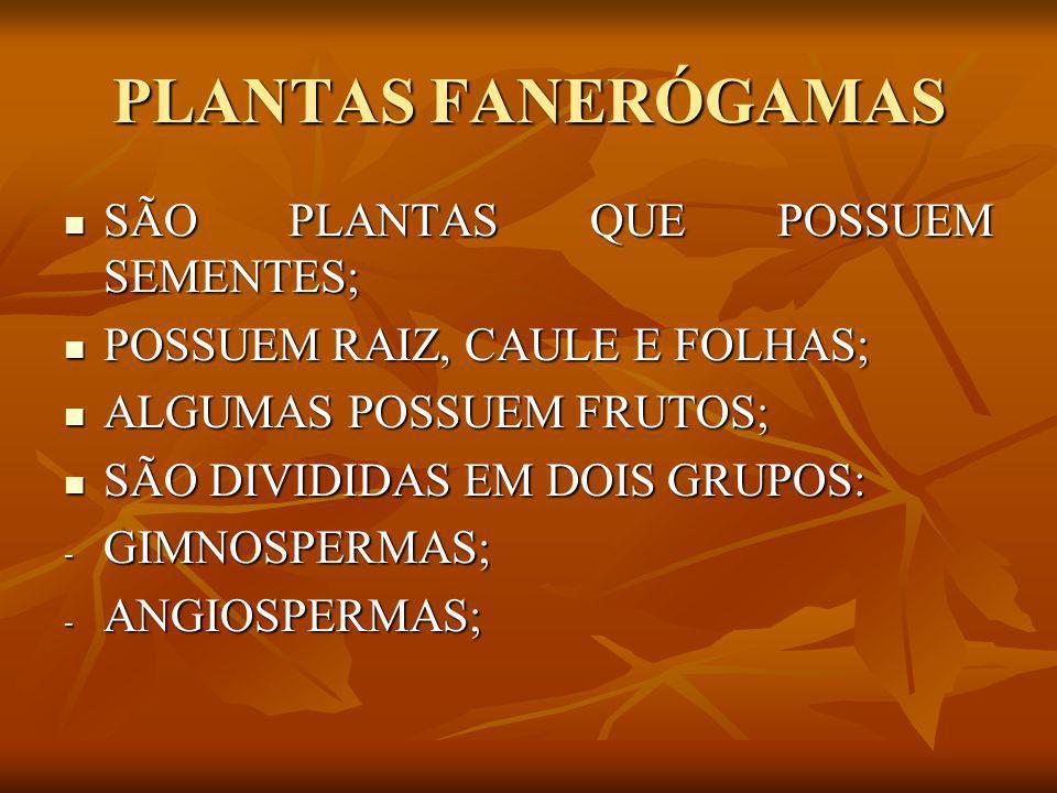 PLANTAS FANERÓGAMAS SÃO PLANTAS QUE POSSUEM SEMENTES;
