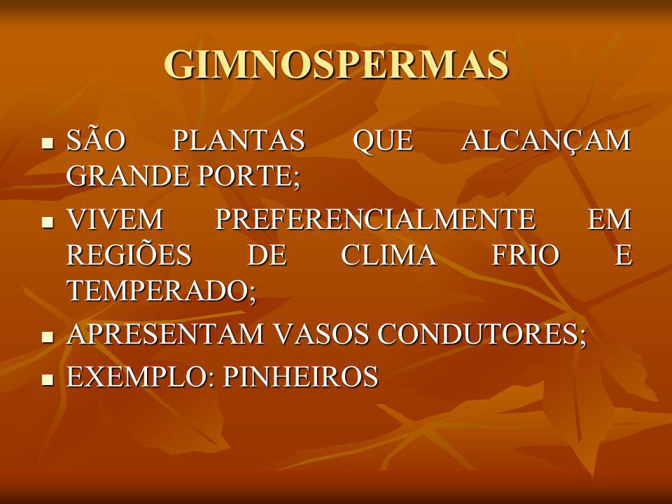 GIMNOSPERMAS SÃO PLANTAS QUE ALCANÇAM GRANDE PORTE;