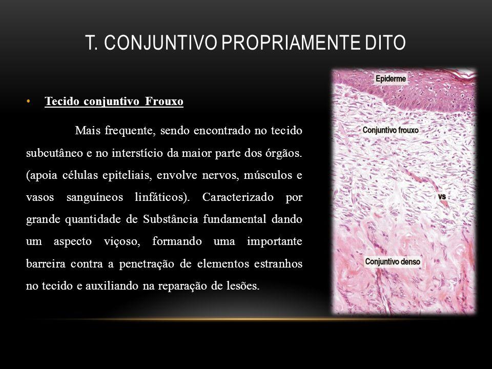 T. Conjuntivo propriamente dito