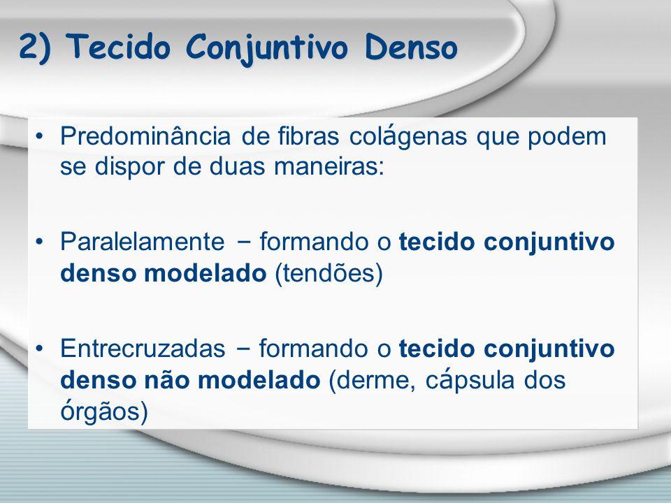 2) Tecido Conjuntivo Denso