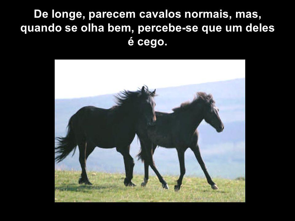 De longe, parecem cavalos normais, mas, quando se olha bem, percebe-se que um deles é cego.