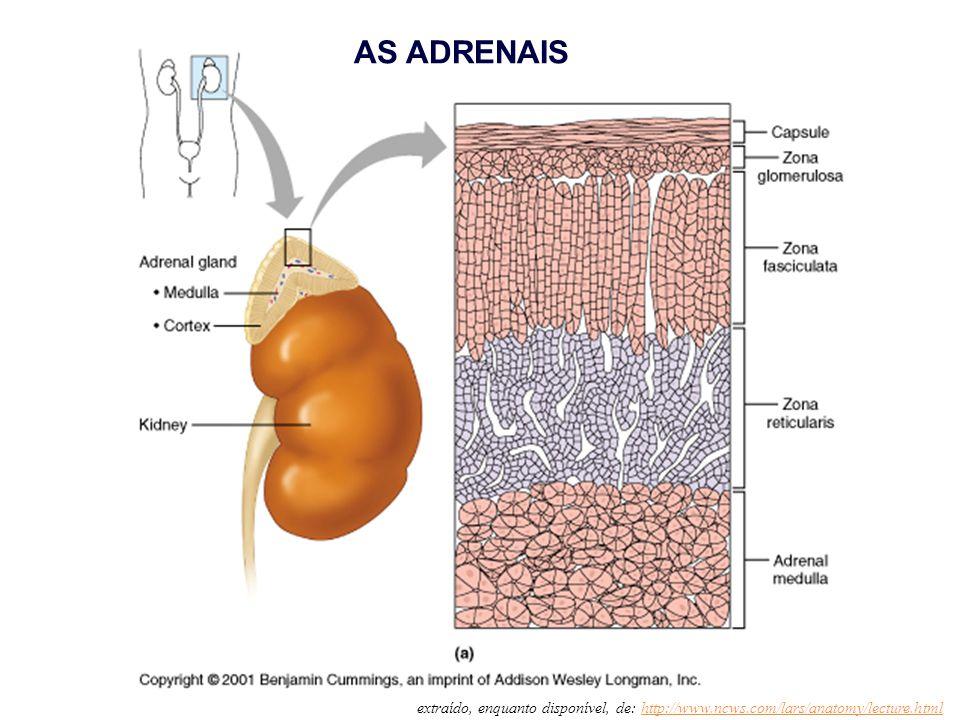 AS ADRENAIS extraído, enquanto disponível, de: http://www.ncws.com/lars/anatomy/lecture.html
