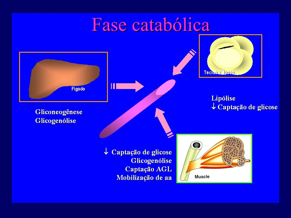 Fase catabólica http://fisio.icb.usp.br/