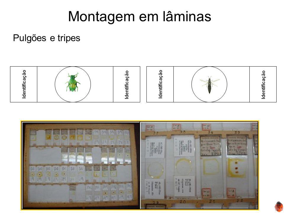 Montagem em lâminas Pulgões e tripes Identificação Identificação