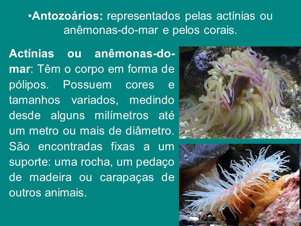 Antozoários: representados pelas actínias ou anêmonas-do-mar e pelos corais.