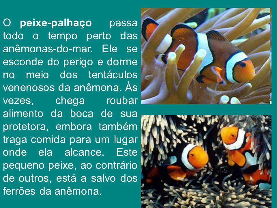 O peixe-palhaço passa todo o tempo perto das anêmonas-do-mar
