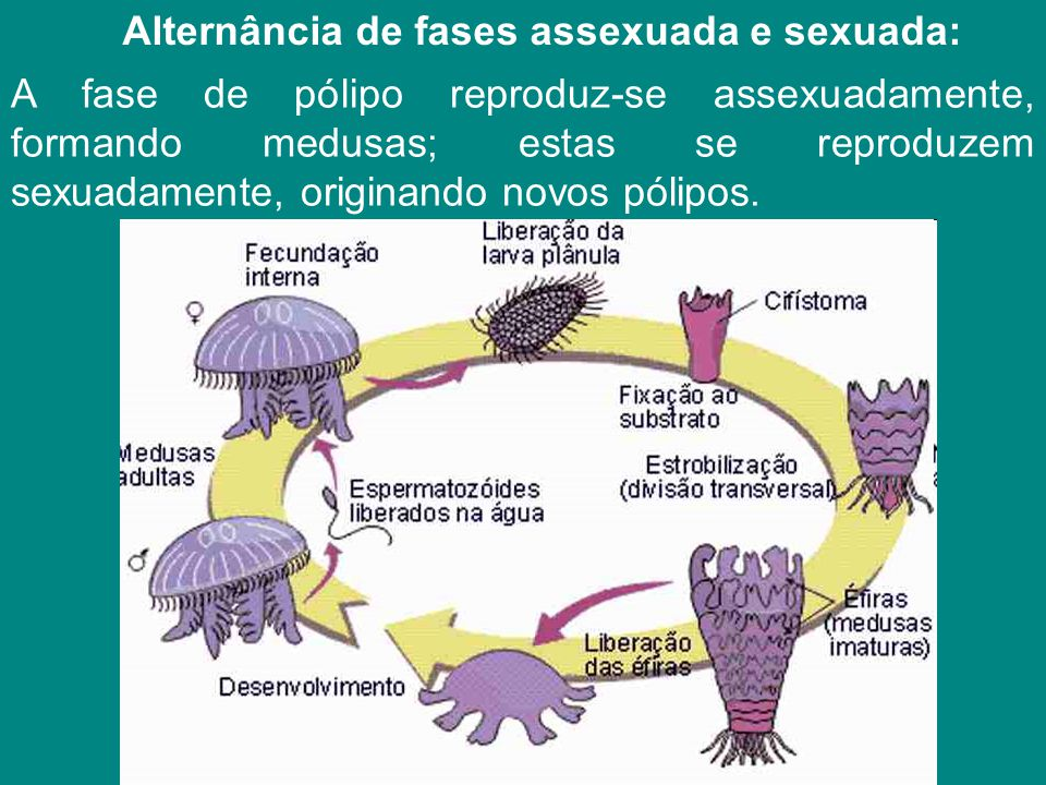 Alternância de fases assexuada e sexuada: