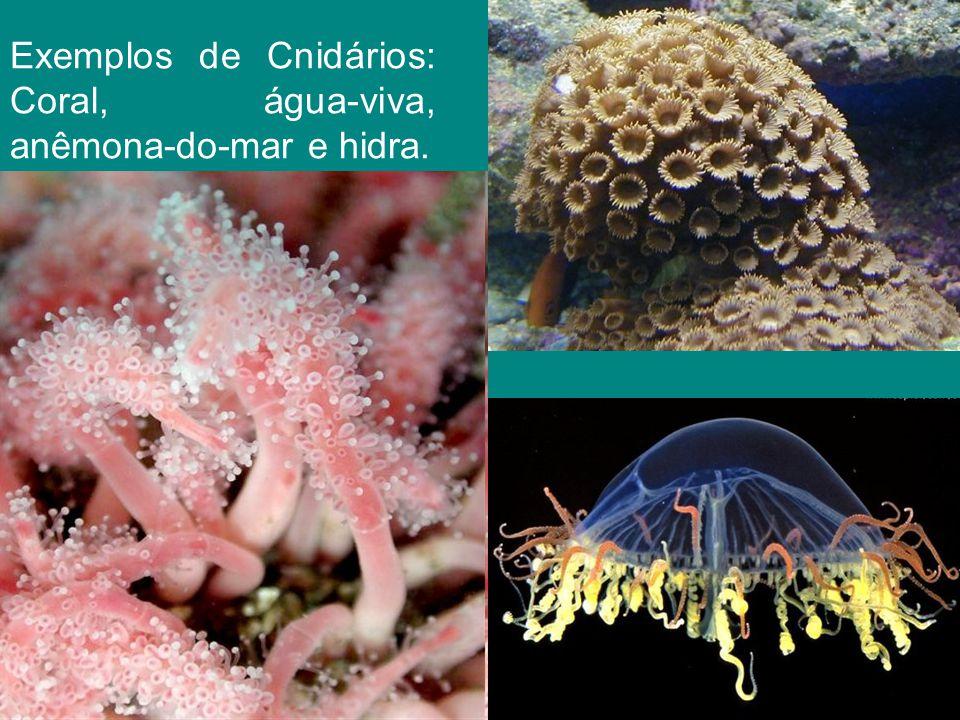 Exemplos de Cnidários: Coral, água-viva, anêmona-do-mar e hidra.