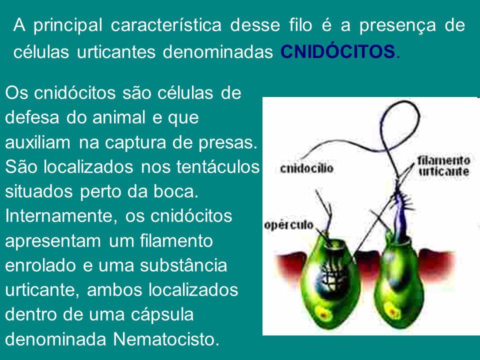 A principal característica desse filo é a presença de células urticantes denominadas CNIDÓCITOS.