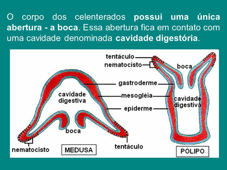 O corpo dos celenterados possui uma única abertura - a boca