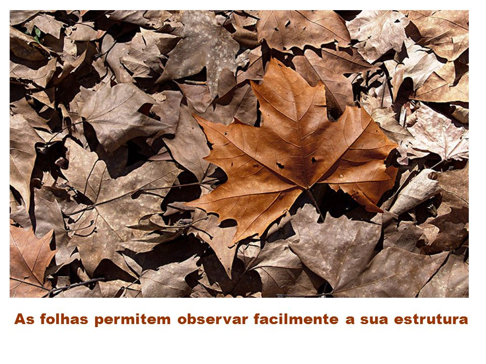 As folhas permitem observar facilmente a sua estrutura