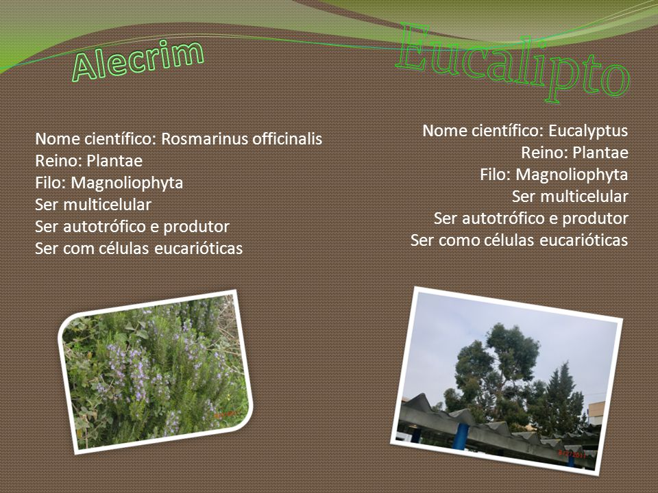 Alecrim Eucalipto Nome científico: Rosmarinus officinalis