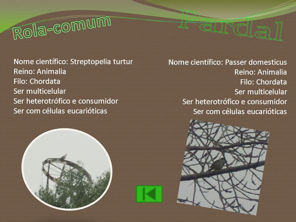Rola-comum Pardal Nome científico: Streptopelia turtur