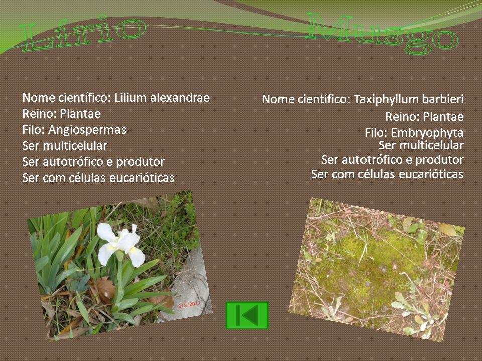 Lírio Musgo Nome científico: Taxiphyllum barbieri