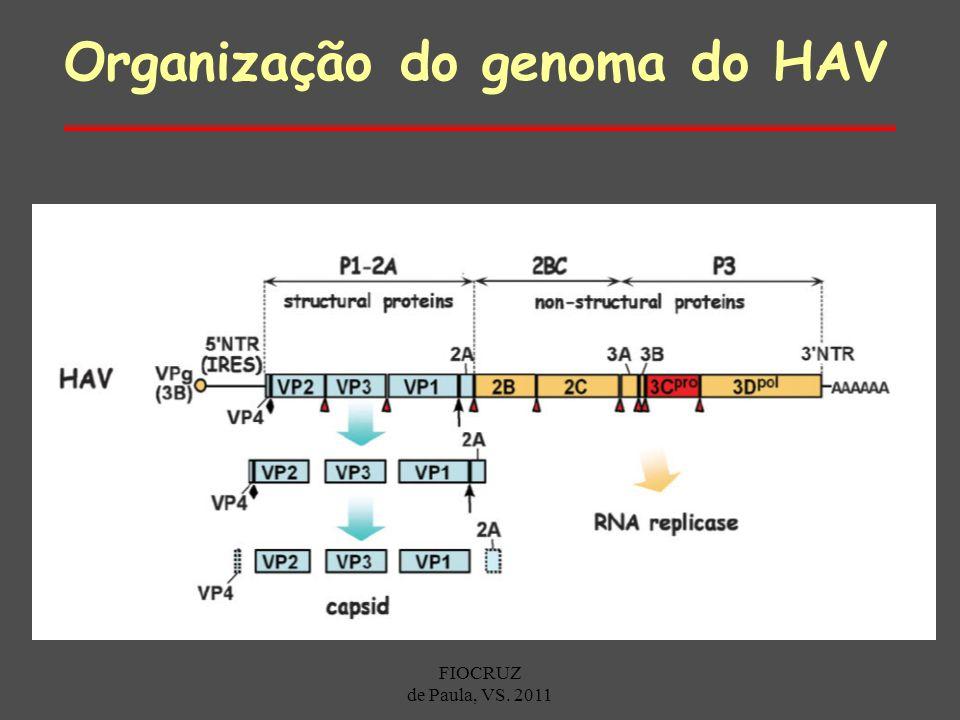 Organização do genoma do HAV