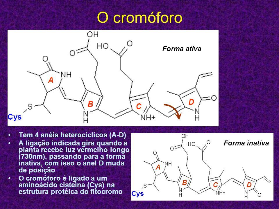 O cromóforo A D B C Cys Forma ativa Tem 4 anéis heterocíclicos (A-D)