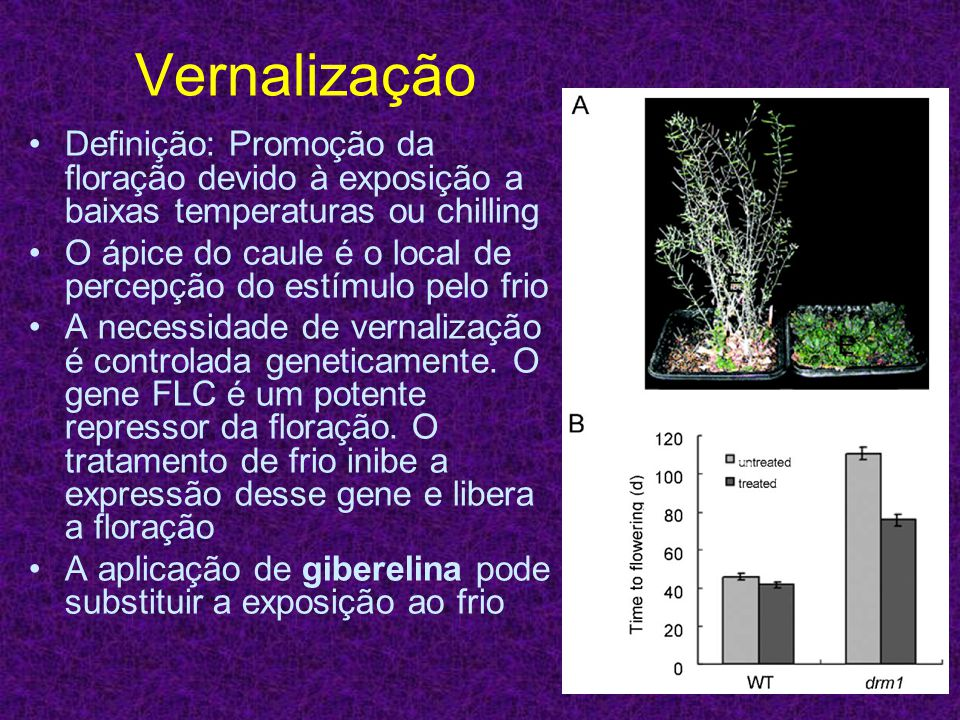 Vernalização Definição: Promoção da floração devido à exposição a baixas temperaturas ou chilling.