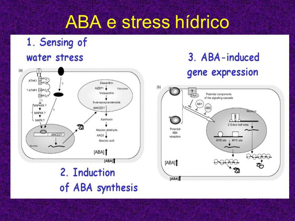 ABA e stress hídrico