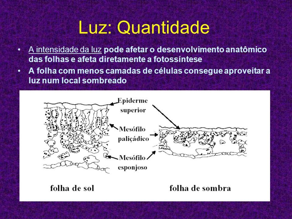 Luz: Quantidade A intensidade da luz pode afetar o desenvolvimento anatômico das folhas e afeta diretamente a fotossíntese.