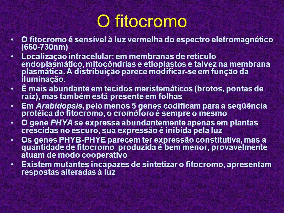 O fitocromo O fitocromo é sensível à luz vermelha do espectro eletromagnético (660-730nm)