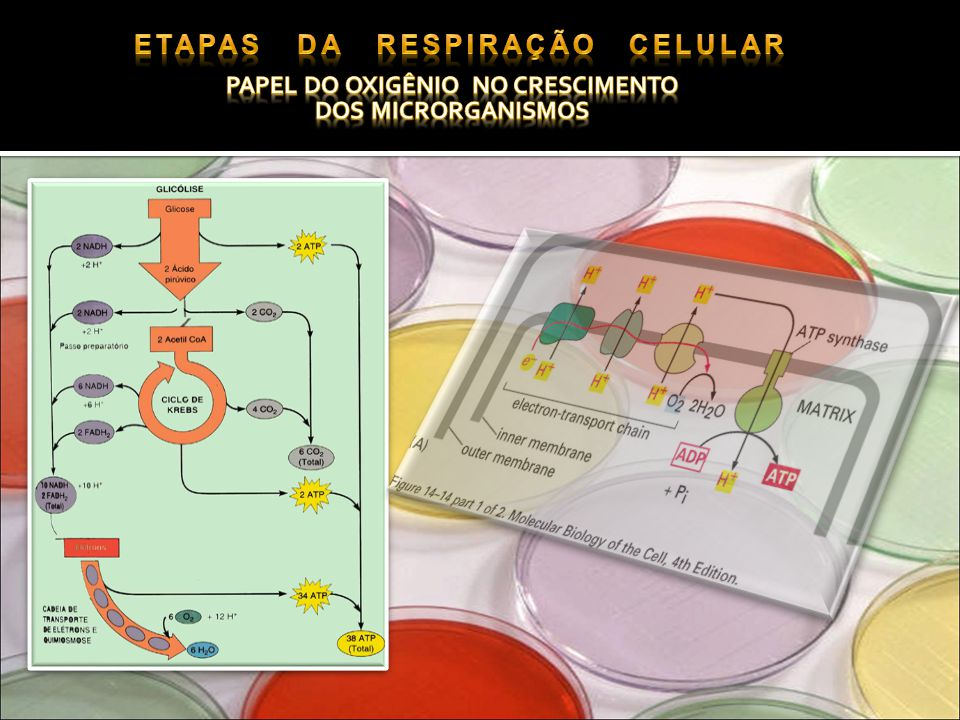 Etapas da respiração celular