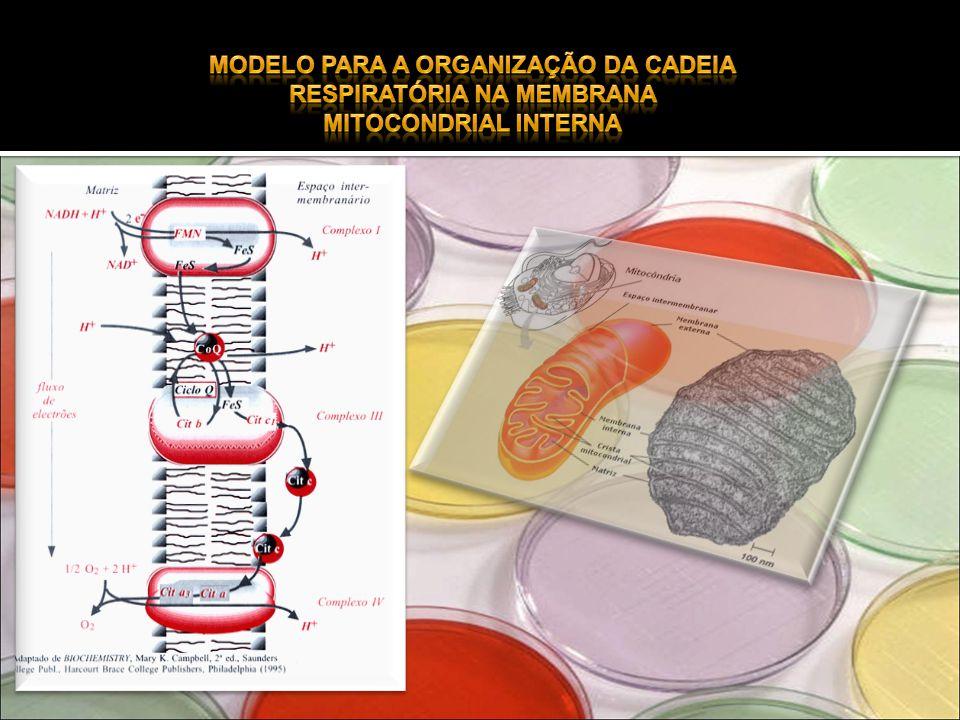 Modelo para a organização da cadeia respiratória na membrana