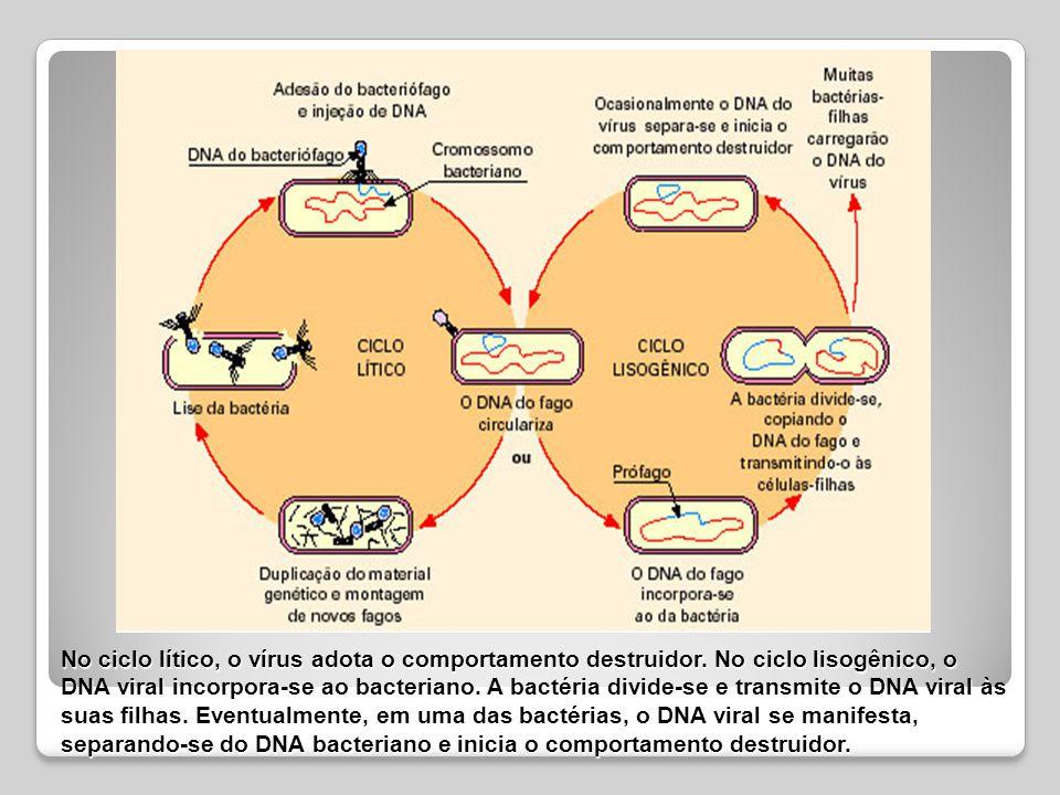 No ciclo lítico, o vírus adota o comportamento destruidor
