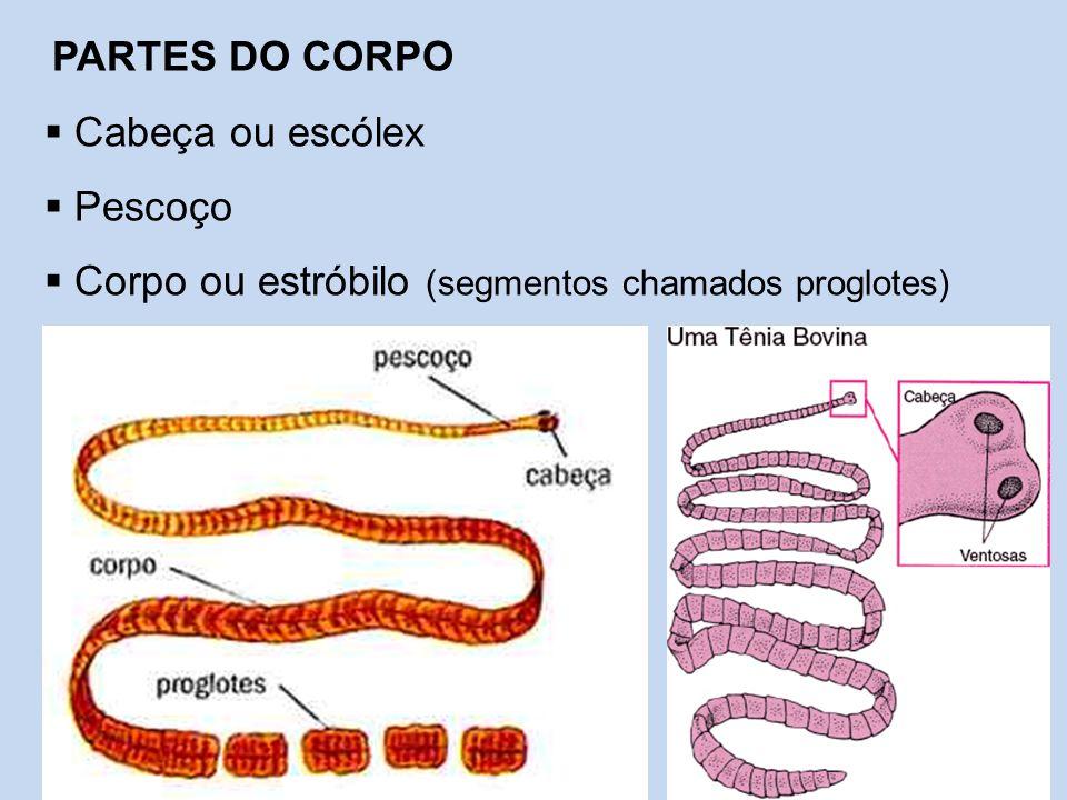 Corpo ou estróbilo (segmentos chamados proglotes)