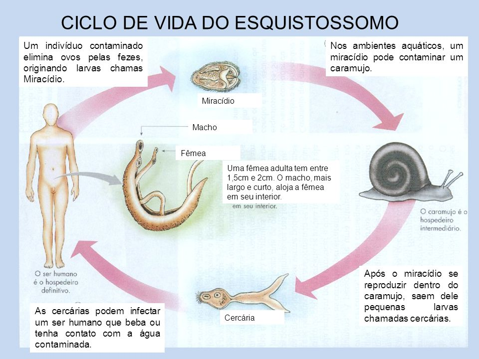 CICLO DE VIDA DO ESQUISTOSSOMO