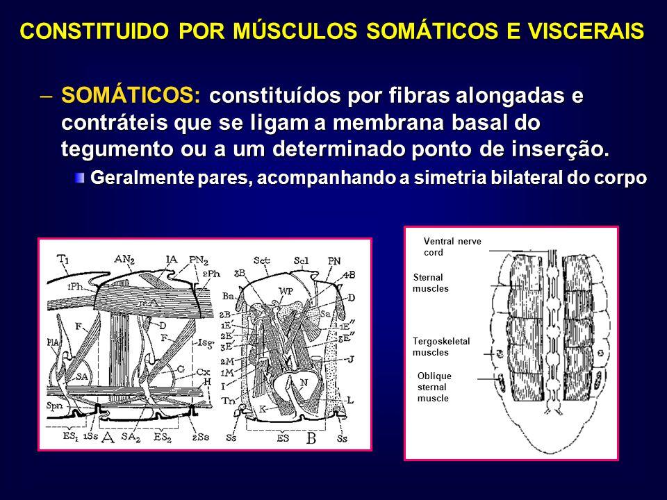 CONSTITUIDO POR MÚSCULOS SOMÁTICOS E VISCERAIS