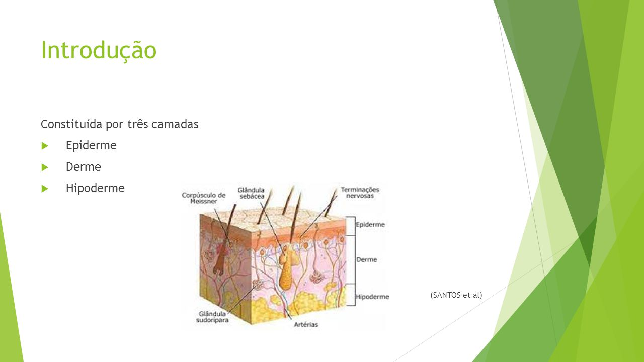 Introdução Constituída por três camadas Epiderme Derme Hipoderme