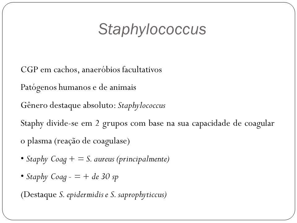 Staphylococcus CGP em cachos, anaeróbios facultativos