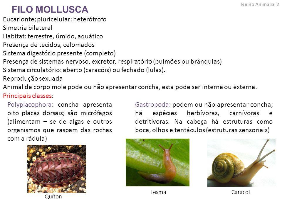 FILO MOLLUSCA Eucarionte; pluricelular; heterótrofo Simetria bilateral