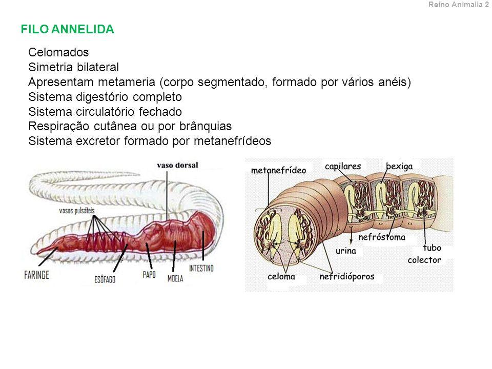 Apresentam metameria (corpo segmentado, formado por vários anéis)