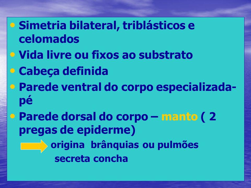 Simetria bilateral, triblásticos e celomados