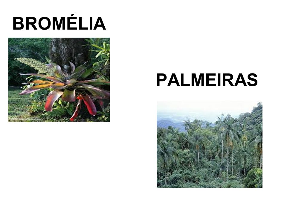 BROMÉLIA PALMEIRAS
