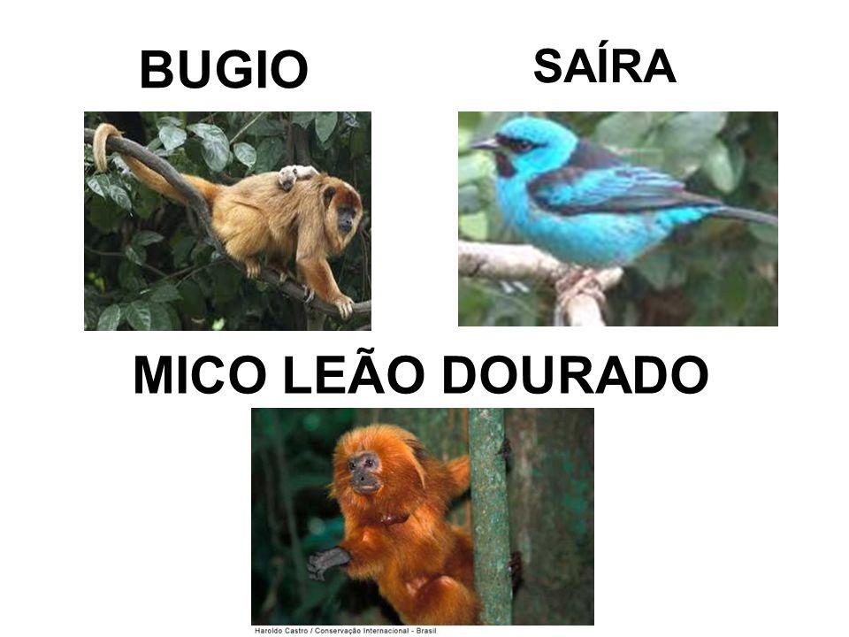 BUGIO MICO LEÃO DOURADO