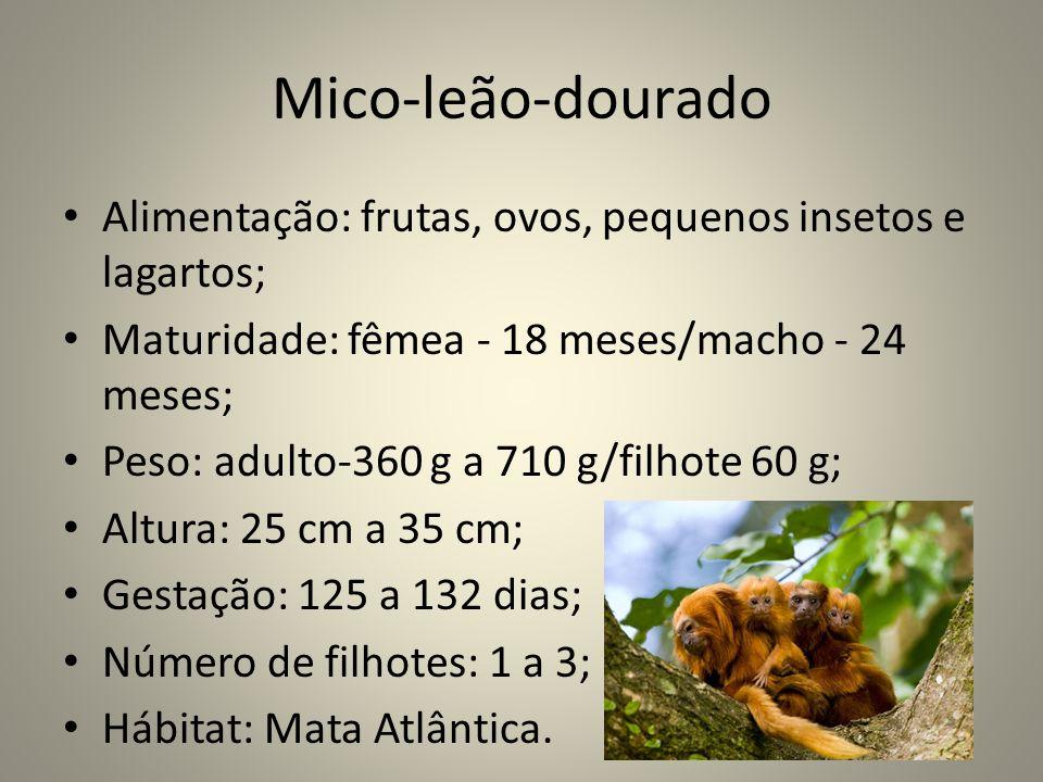 Mico-leão-dourado Alimentação: frutas, ovos, pequenos insetos e lagartos; Maturidade: fêmea - 18 meses/macho - 24 meses;