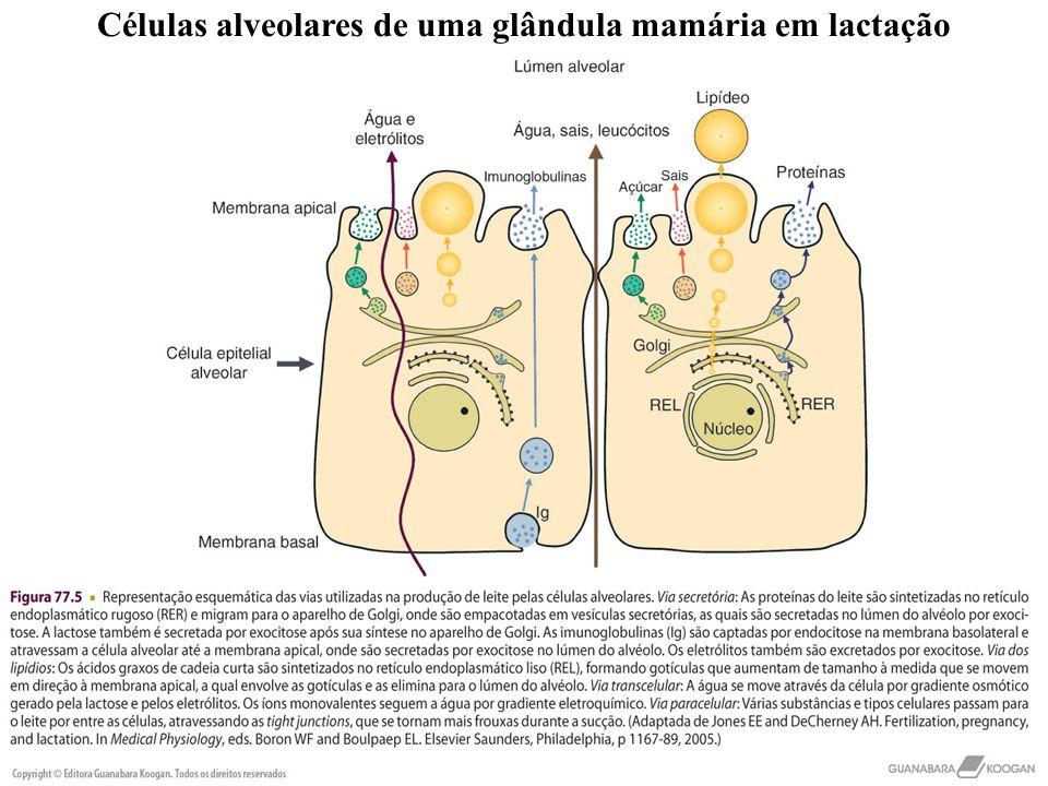 Células alveolares de uma glândula mamária em lactação