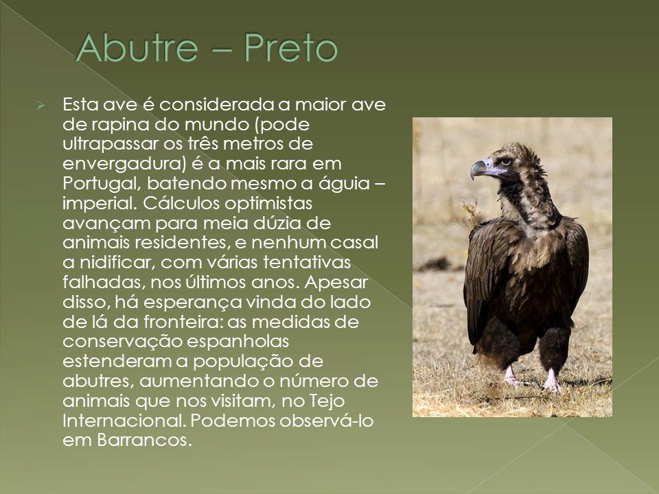 Abutre – Preto