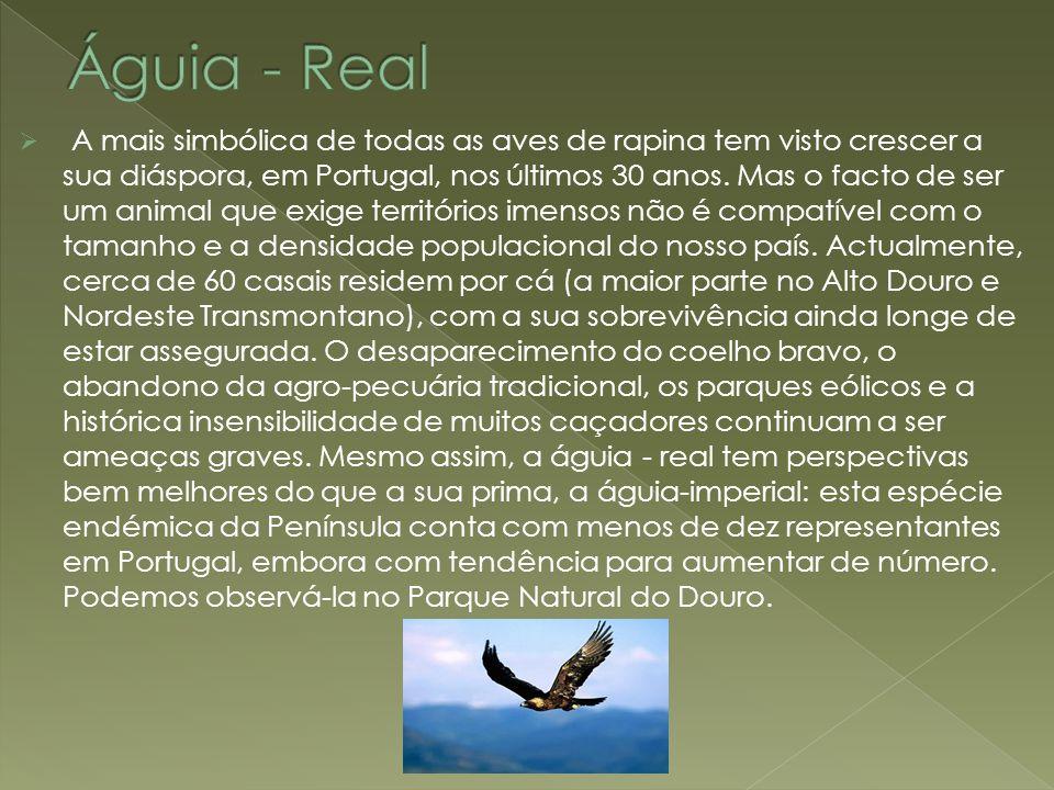 Águia - Real