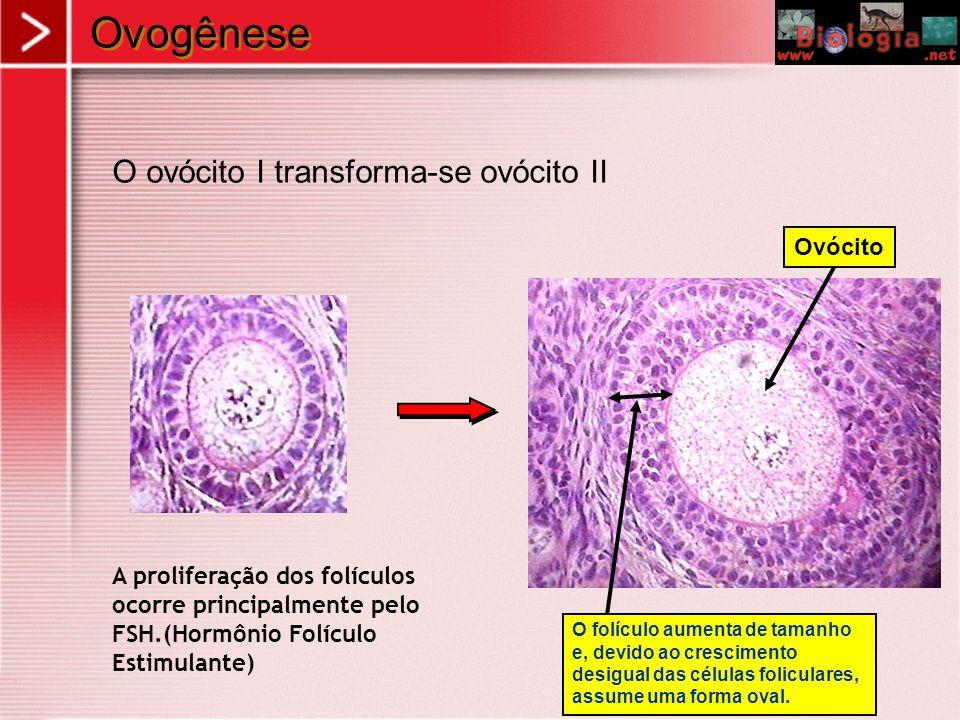 Ovogênese O ovócito I transforma-se ovócito II Ovócito