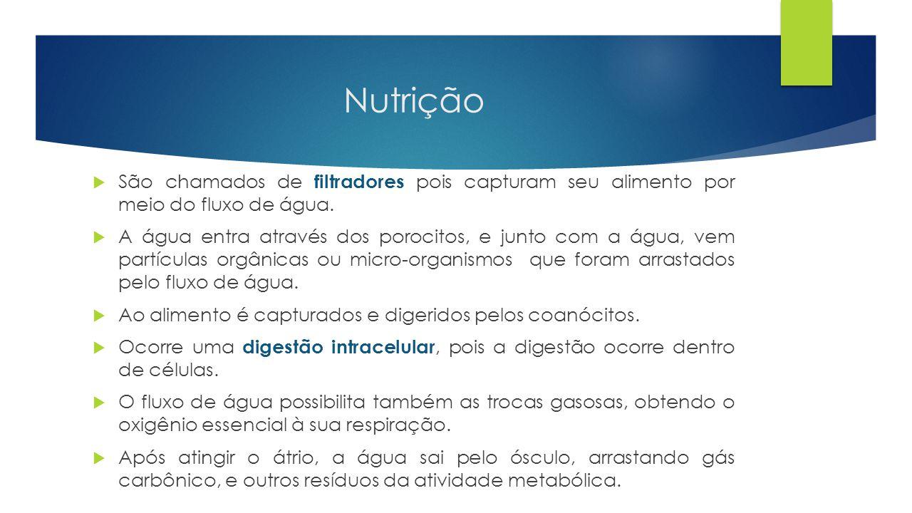 Nutrição São chamados de filtradores pois capturam seu alimento por meio do fluxo de água.