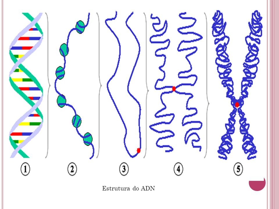 Estrutura do ADN