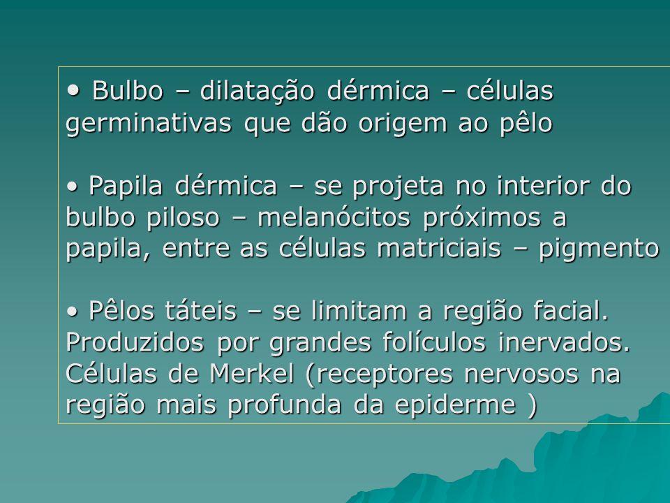 Bulbo – dilatação dérmica – células germinativas que dão origem ao pêlo