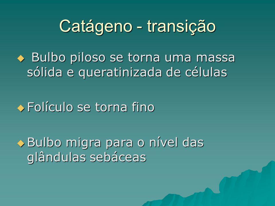 Catágeno - transição Bulbo piloso se torna uma massa sólida e queratinizada de células. Folículo se torna fino.